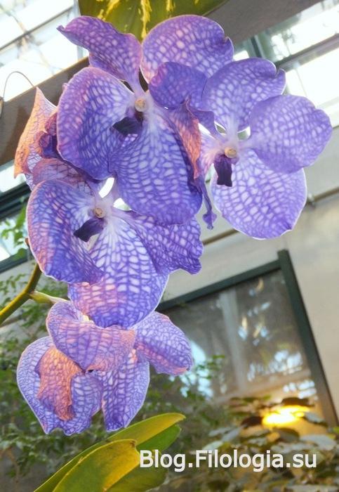 Фиолетовые орхидеи /3241858_orchid2 (483x700, 114Kb)