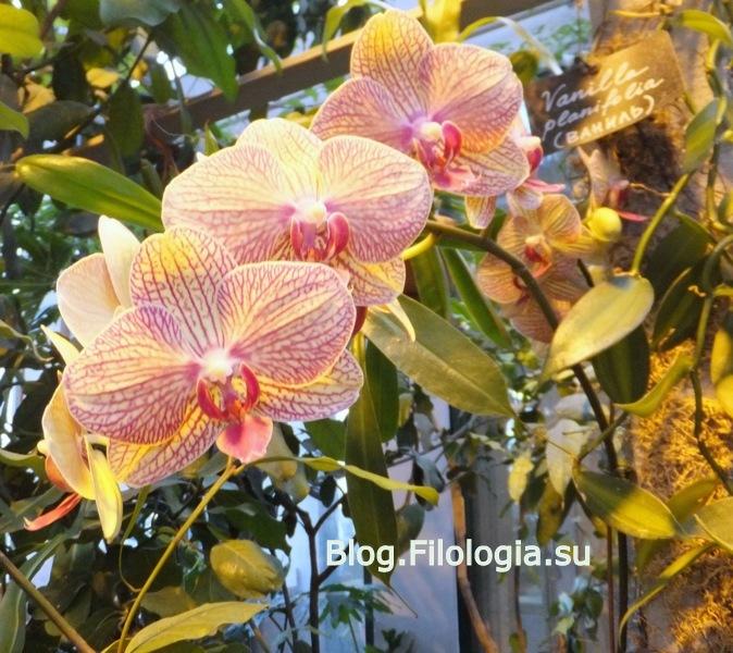 Нежно розовые орхидеи с желтоватым оттенком/3241858_orchid5 (674x600, 163Kb)