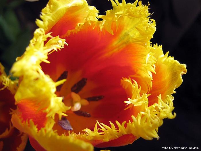 тюльпаны 2 (700x525, 221Kb)