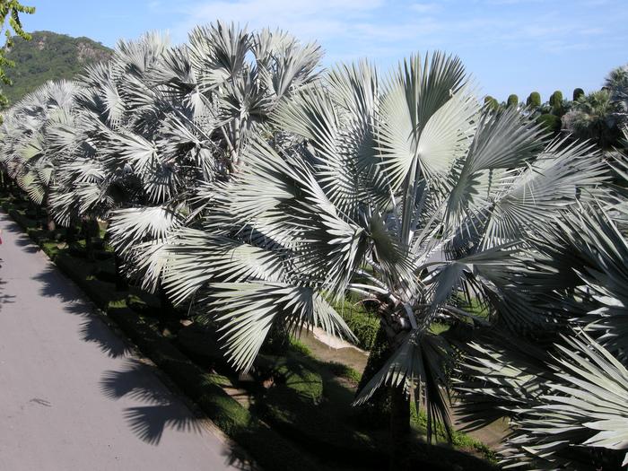 Парк Нонг Нуч (Nong Nooch Tropical Garden) 89846