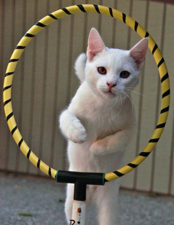 кошка прыгает через обруч/3518263_126952348381 (349x451, 31Kb)