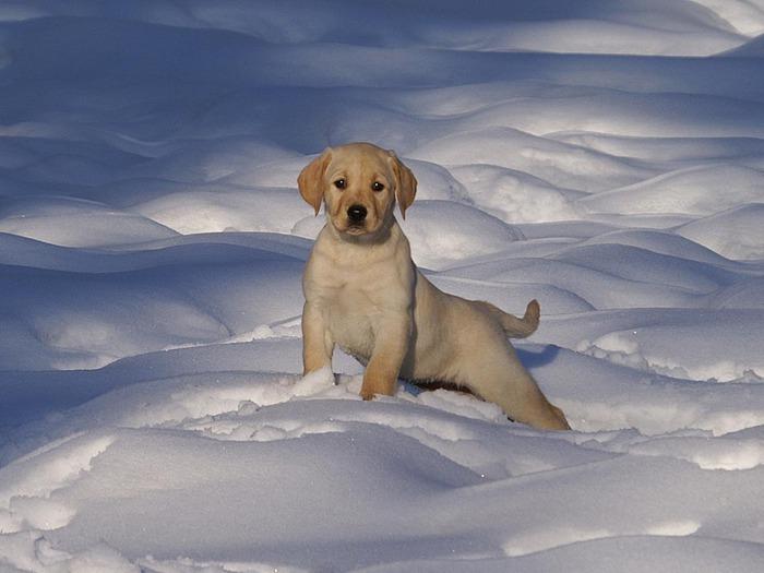 cute_pupy_at_snowtime_wallpaper (700x525, 79Kb)
