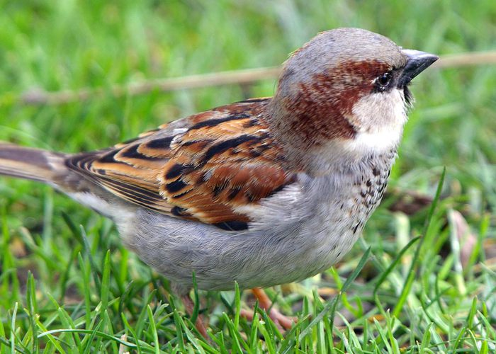 sparrow (700x500, 76Kb)