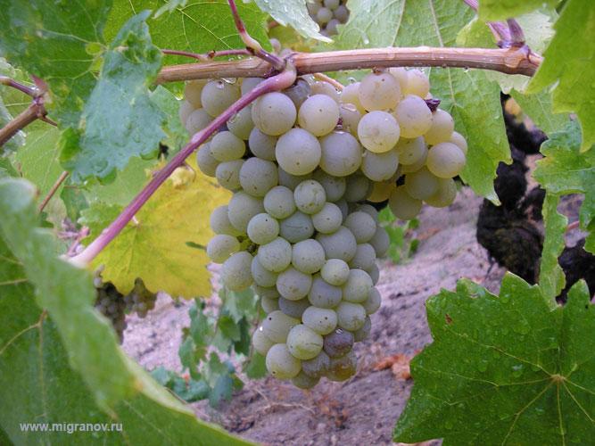 vinograпd (667x500, 90Kb)
