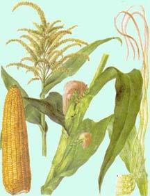 kukuruza (216x282, 13Kb)