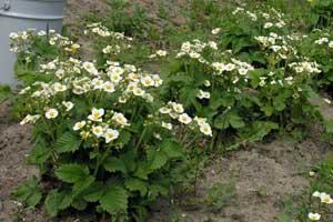 Цветет мелкоплодная (300x200, 14Kb)