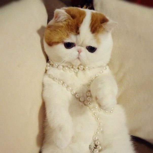 Порода самого милого кота