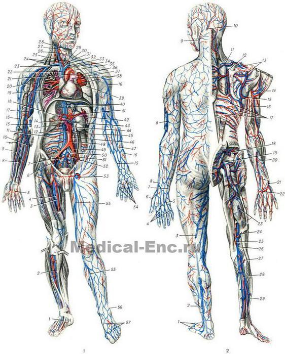blood_vessels_diagram (562x700, 86Kb)