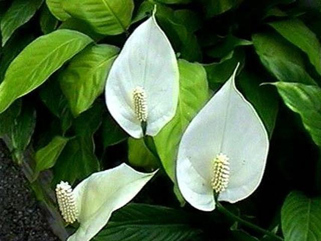 домашние цветы женское счастье