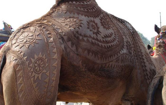 Фигурная стрижка верблюдов 7 (700x445, 91Kb)