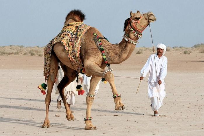 Фигурная стрижка верблюдов 10 (700x466, 86Kb)