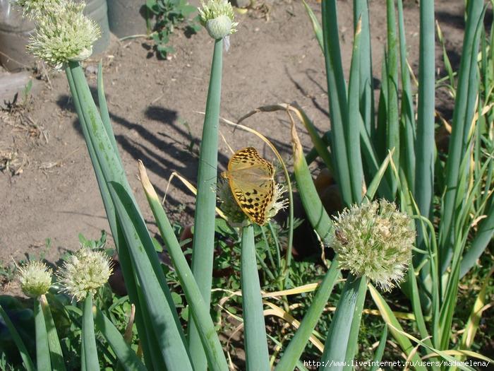 Бабочки1 (700x525, 311Kb)