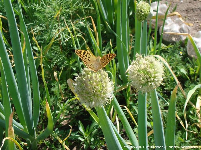 Бабочки3 (700x525, 341Kb)