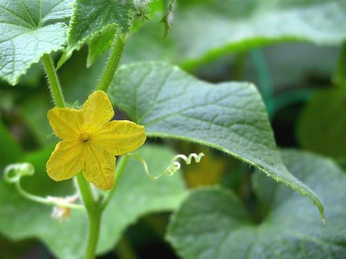 5878839_Komkommerplant (500x375, 148Kb)