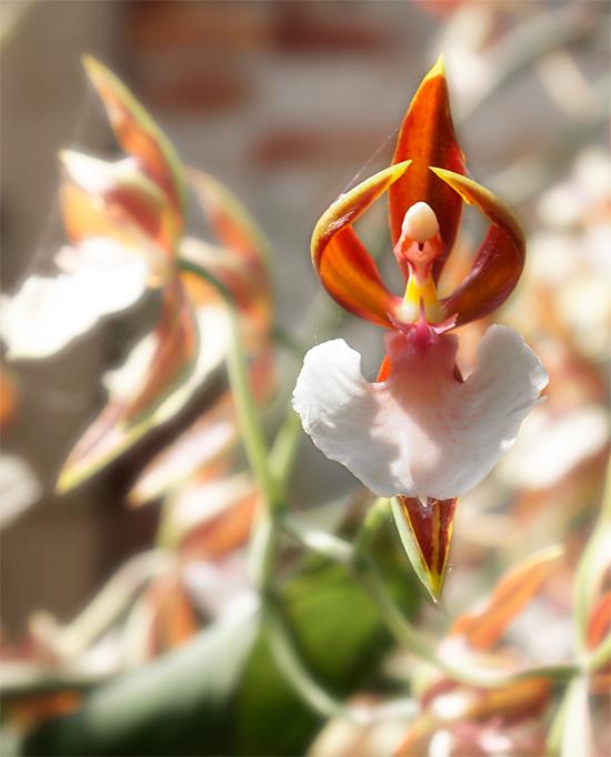 орхидея балерина фото 2 (550x682, 301Kb)