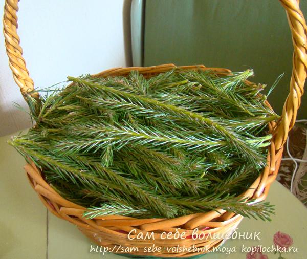 Как приготовить целебные сосновый и еловый сиропы на зиму/1783336_1_1_ (600x506, 388Kb)