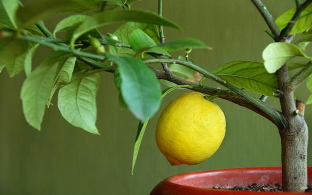 Лимон из косточки (640x401, 132Kb)