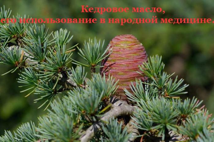 2835299_Izmenenie_razmera_Kedrovoe_maslo_ego_ispolzovanie_v_narodnoi_medicine_ (700x465, 253Kb)