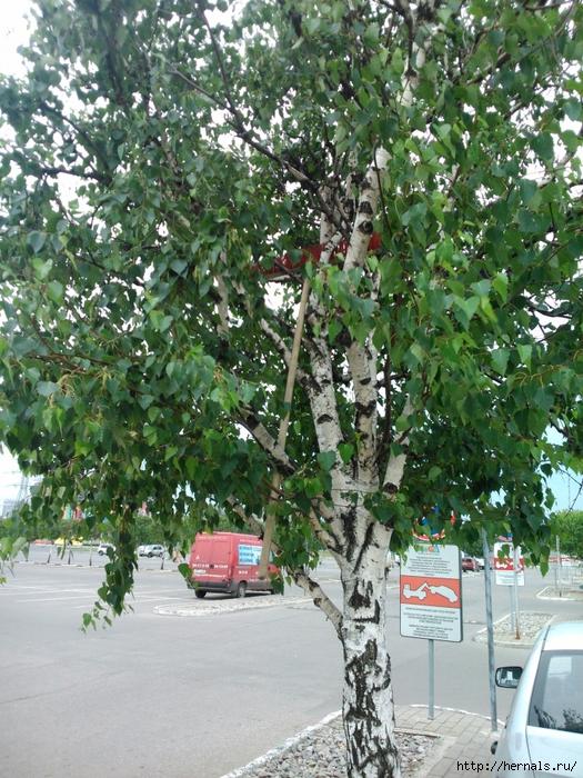 грабли на дереве/4555640_DSC_2699 (525x700, 418Kb)