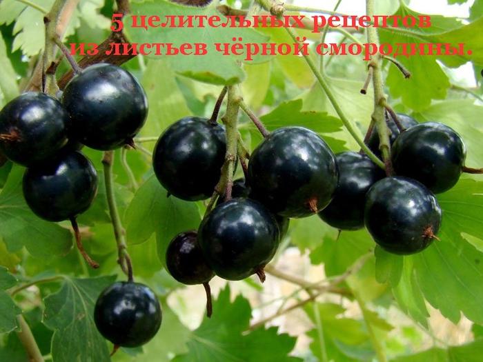 2835299_5_celitelnih_receptov_iz_listev_chyornoi_smorodini_ (700x525, 271Kb)