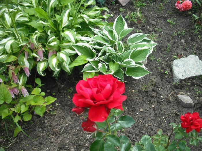Роза (700x525, 143Kb)