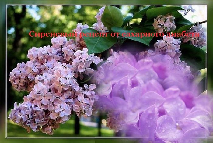 2835299_Izmenenie_razmera_Sirenevii_recept_ot_saharnogo_diabeta (700x469, 250Kb)
