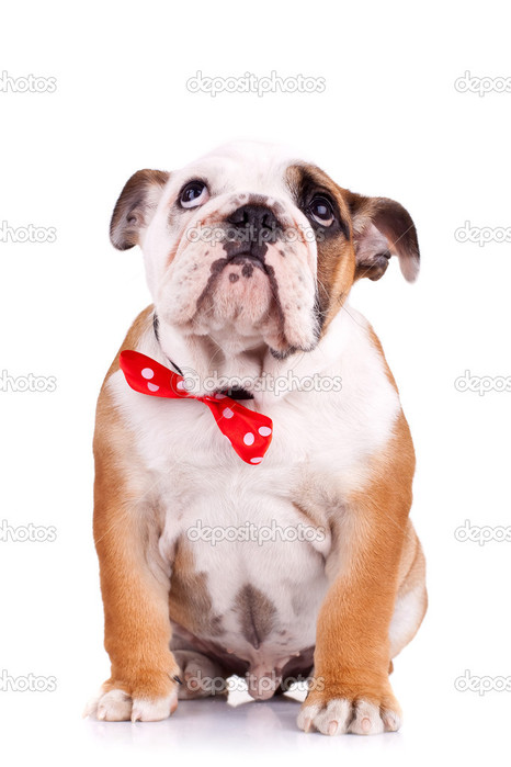 depositphotos_5686261-Sad-english-bulldog-puppy (466x700, 68Kb)