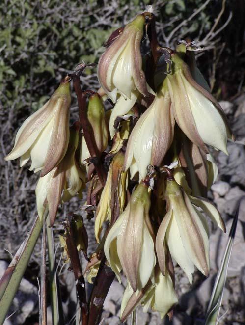 Yucca_baccata_close (499x662, 287Kb)