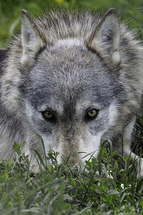 ravik.su-wolf-0602 (466x700, 97Kb)