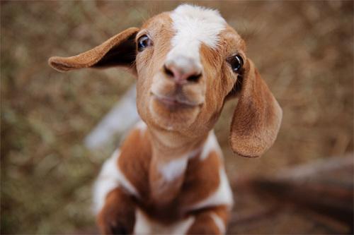 4278666_goat_1 (500x333, 51Kb)