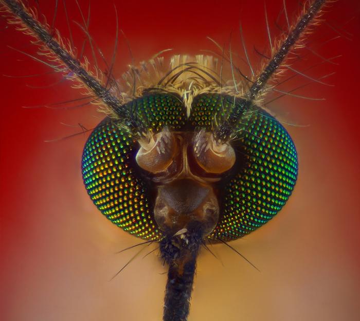 комар-пискун фото 1 (700x624, 417Kb)