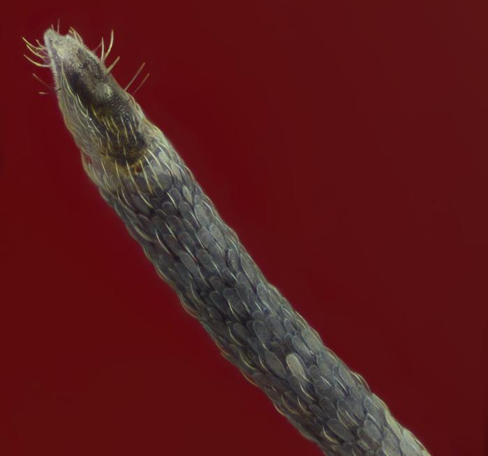 комар-пискун фото 3 (700x654, 191Kb)