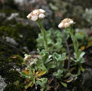 растение-кошачьи-лапки-300x298 (300x298, 27Kb)