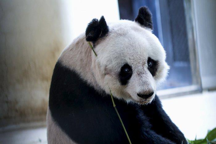 цзя цзя панда долгожительница 2 (700x466, 161Kb)