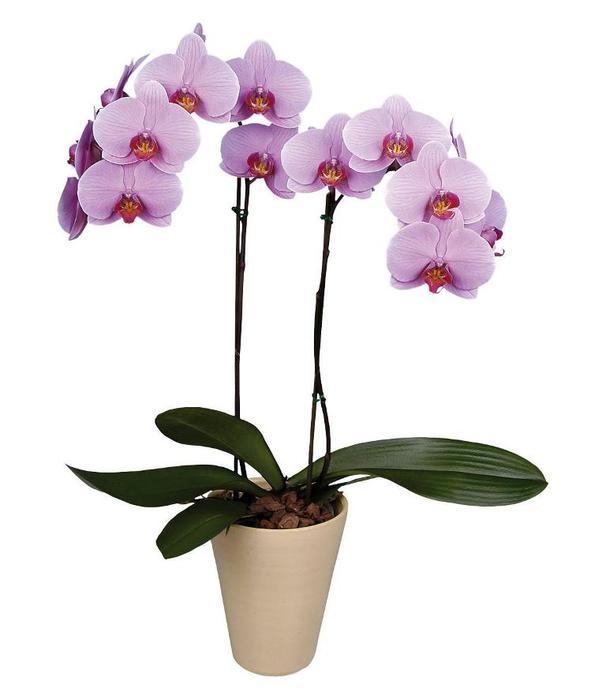 Орхидея (606x700, 30Kb)