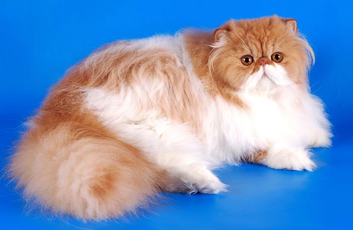 1. Персидская кошка (700x456, 315Kb)