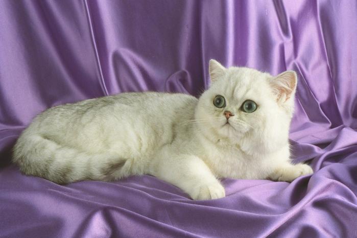 4. Экзотическая короткошерстная кошка (экзот) (700x466, 320Kb)