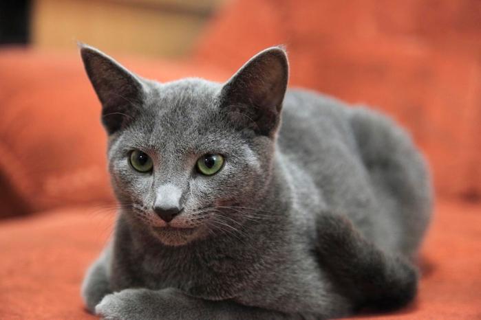 Породы кошек c фотографиями видео и описанием