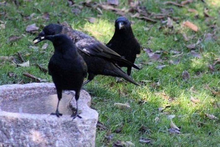 девочка дружит с воронами 4 (700x468, 363Kb)