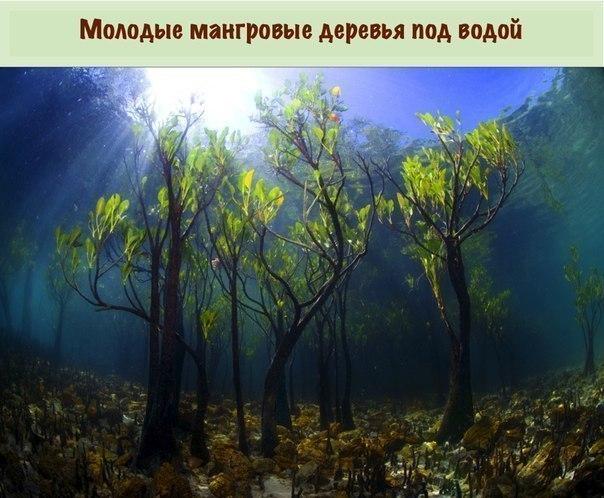 Вы сомневаетесь, что эти деревья растут на нашей планете (604x498, 268Kb)