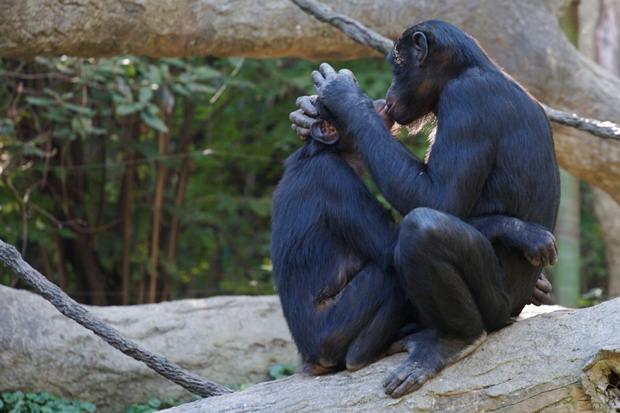 bonobo-hd-1 (620x413, 198Kb)