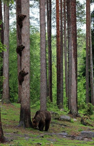 Где–то близко бродит взрослый самец, медведица загнала детей на дерево и охраняет подступы. (391x604, 338Kb)