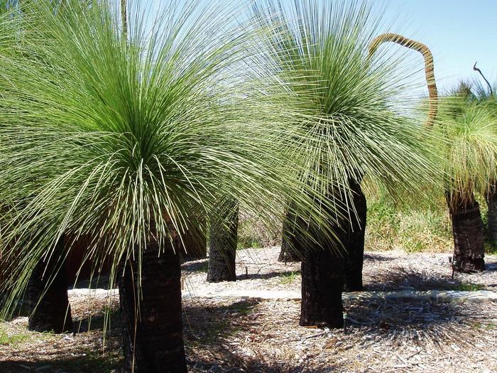 австралийское травянистое дерево фото 1 (700x525, 579Kb)