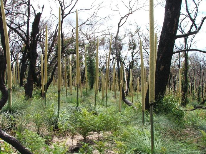 австралийское травянистое дерево фото 8 (700x525, 529Kb)