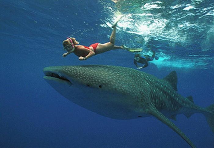 Китовая акула - самая большая рыба в мире. 20 фото