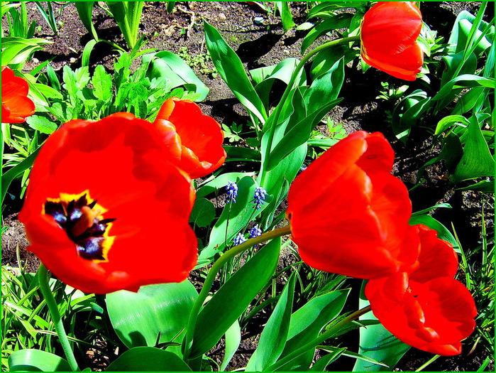 тюльпаны у соседки по дому 002 (700x525, 236Kb)