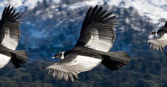 Condor-foto-tomada-de-revistainternacionalamazonia-580x326c (580x303, 162Kb)