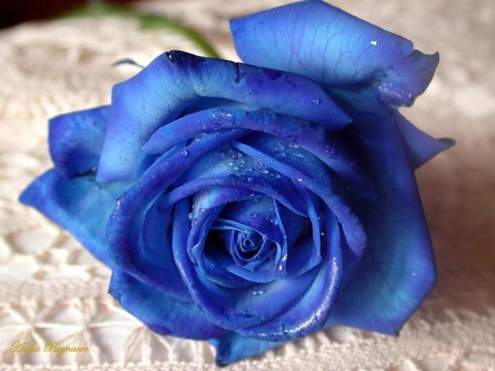 К чему снится роза голубая
