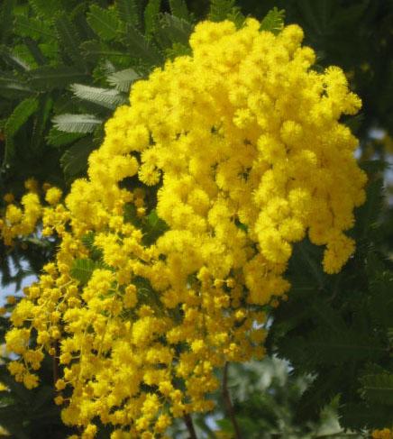 84258648_large_mimoza (436x487, 92Kb)