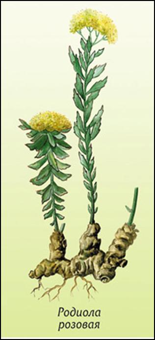 золотой корень